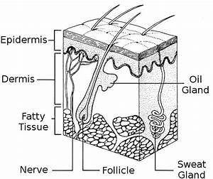 Skin Diagram  Medical  Anatomy  Skin  Skin Diagram Png Html