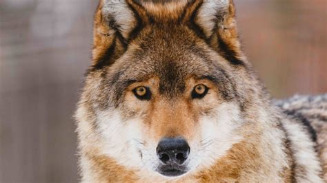 colorado wolf reintroduction   doesnt