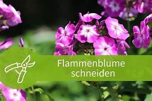 Welche Pflanzen Passen Zu Rosen : flammenblume schneiden die r ckschnitte der phlox ~ Lizthompson.info Haus und Dekorationen