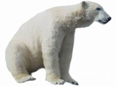 Bear Polar Transparent Face Pluspng Technology Freepngimg