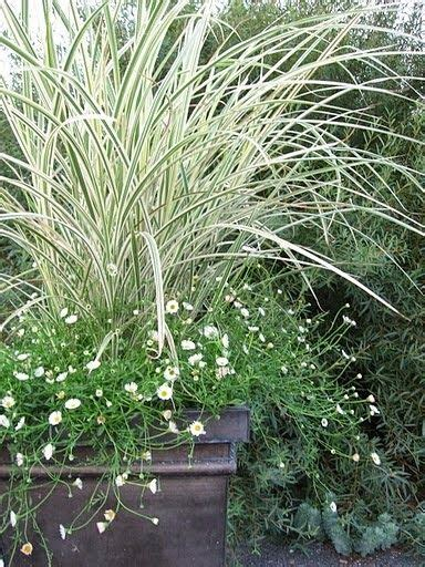 grasses for containers container gardening grasses and gardening on pinterest