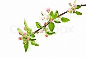 Branch Apple Blossom On White
