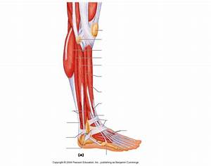 Superficial View Lateral Aspect Of Leg
