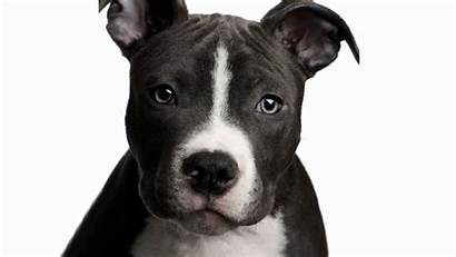 Pitbull Dog Pit Wallpapers Bull Face Nose