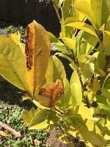 Kirschlorbeer Braune Blätter : kirschlorbeer mano prunus laurocerasus mano g nstig ~ Lizthompson.info Haus und Dekorationen
