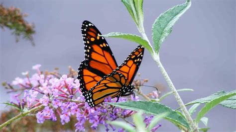 Monarch Butterfly Wallpaper 64 Pictures