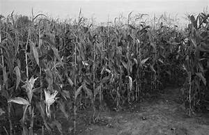 Pin Corn Field Image Smithville Tennessee Wdc3d on Pinterest