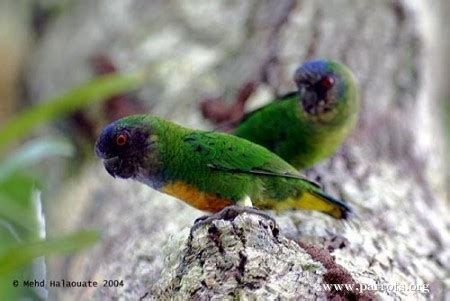 parrot encyclopedia geelvink pygmy parrot world parrot