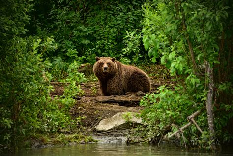 Wallpaper  Forest, Animals, Nature, Wildlife, Bears, Zoo