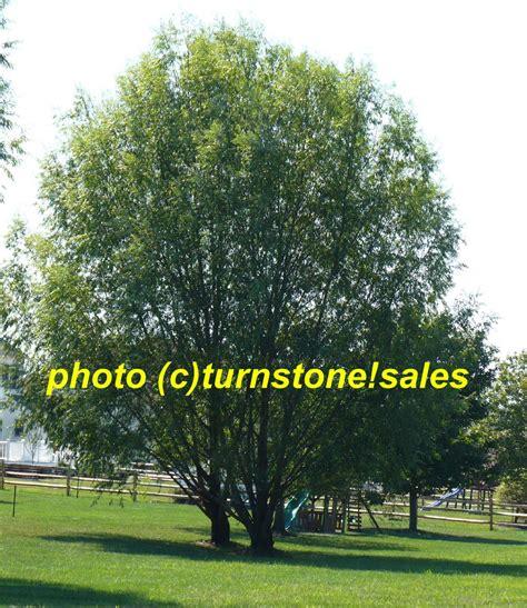 2ft 3ft hybrid willow tree fast growing shade screen windbreak austree ebay