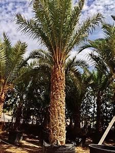 Kanarische Dattelpalme Kaufen : palmen kaufen online palmenshop tropisch mediterran ~ Lizthompson.info Haus und Dekorationen