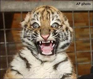 Baby Tiger - Best Animals