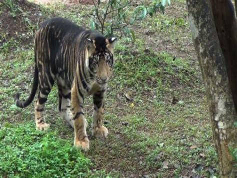 melanistic tiger  nandankanan zoo melanistic animals