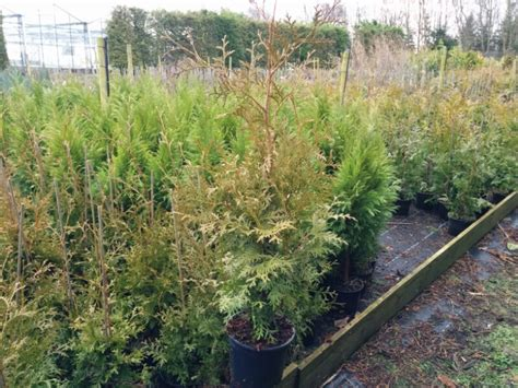 thuja occidentalis brabant thuja occidentalis brabant 2l pot beardsworths nurseries garden centre