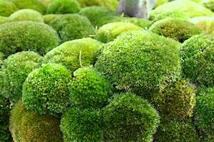 Air Freshener Moss Genetically Engineered By Failed Plant