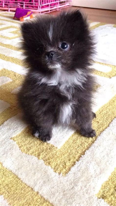 blue grey pomeranian puppy pomeranians pinterest hundar