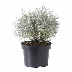Pot Fleur Ikea : calocephalus brownii rostliny ikea inspirations pinterest jardins pot plante et ~ Teatrodelosmanantiales.com Idées de Décoration