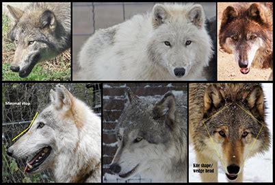 Wolf Head Angles