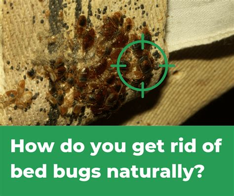 Rid Of Bed Bugs by How Do You Get Rid Of Bed Bugs Naturally Simple Answer