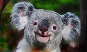 Aww so cute smiling Koala :)   SAY CHEESE...   Pinterest