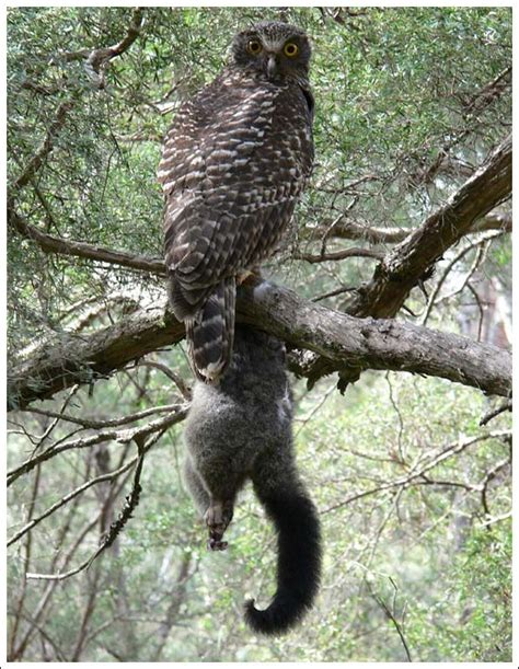 Do Barn Owls Eat Cats by 49 Best Powerful Owls Images On Owls Owl And