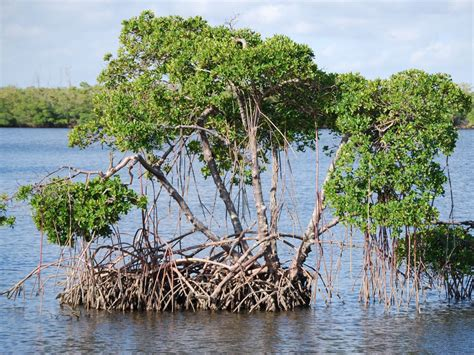 Mangrove Trees - National Geographic Society