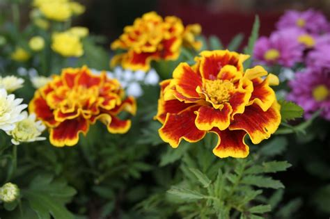 marigold insect repellent garden myth citronella geranium vs 5 easy to grow mosquito repelling plants that work auntie