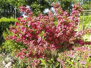 Weigela Bristol Ruby : weigela bristol ruby one of my beautiful shrubs ~ Michelbontemps.com Haus und Dekorationen
