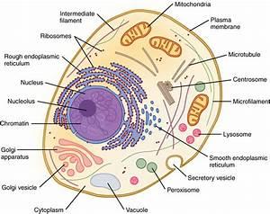 Cell Nucleus  Plant  U0026 Animal
