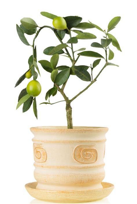piante limoni in vaso 8 piante da frutto perfette per la coltivazione in vaso
