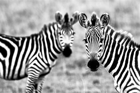 Zebra Animal Wallpaper - wildlife zebra hd wallpaper 2012