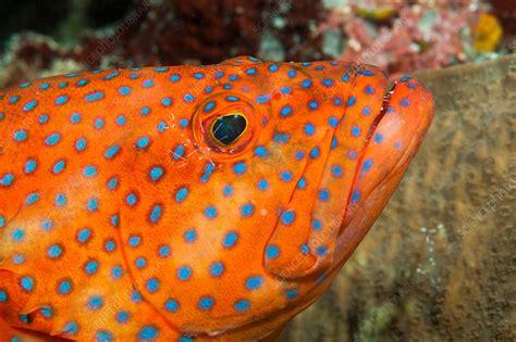 grouper coral