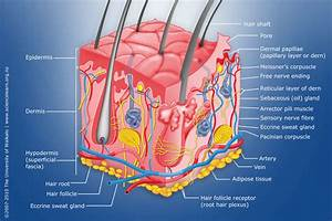 Diagram Of Human Skin Structure  U2014 Science Learning Hub