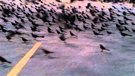 grackles  texas parking lots youtube