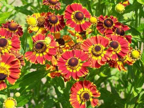 rainbow roses flower homes rudbeckia flowers