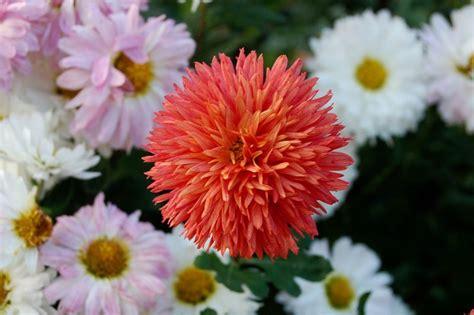 Garten Chrysantheme Kaufen by Chrysanthemen 171 Wir Sind Im Garten