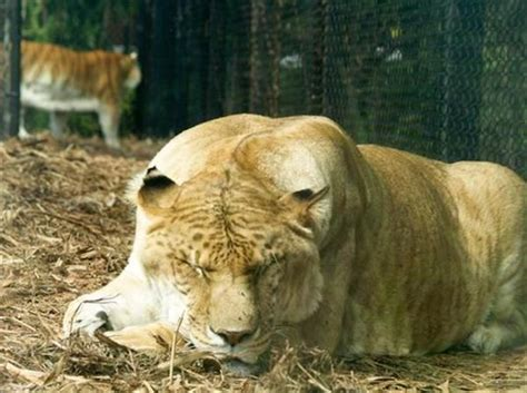 Hercules The Liger Not Sterile However Many People