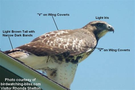red tailed hawk identification and photos
