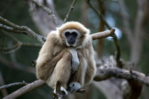 Facts About Gibbons