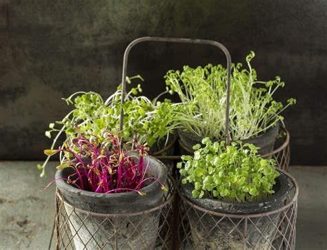 How to Grow Your Own Microgreens