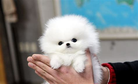teacup puppy teacup puppy  sale white teacup
