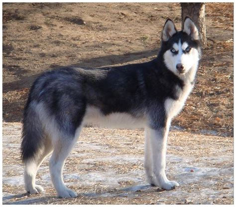 siberian husky dog training  caring dog training