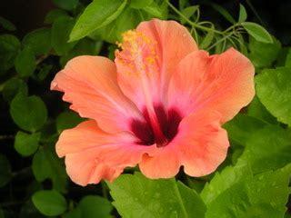 cour de cuisine hibiscus d 39 intérieur rosa sinensis et sabdariffa