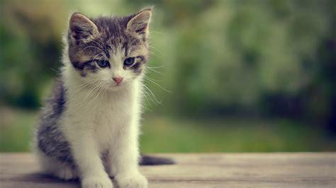 Wallpaper Cats Animals - cat animals kittens wallpapers hd desktop and mobile
