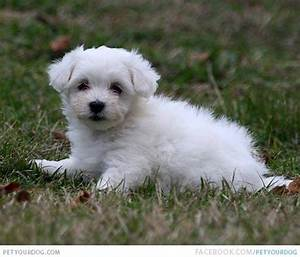 The gallery for --> Little White Puppies Breeds