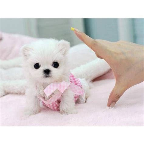 Non Shed Dogs Large by White Tea Cup Dogs Dog Pet Photos Gallery G6krzz0kox