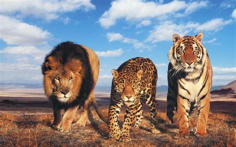 glowing lion  tiger hd desktop wallpaper high