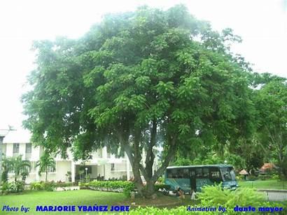 Tree Bogo Floribunda Garuga Place Animated Tall