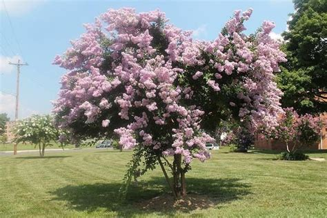 25+ Best Ideas About Lagerstroemia On Pinterest