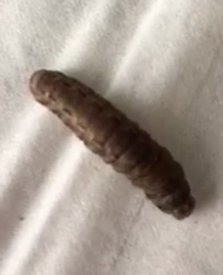brown worms appearing  kitchen   black soldier fly